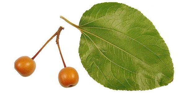 Jujube or Indian Plum Leaves