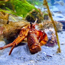 Vancouver Aquariam hermit crab