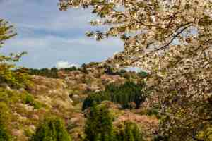 Looking For Cherry Blossoms? Hike Up Mt. Yoshino!