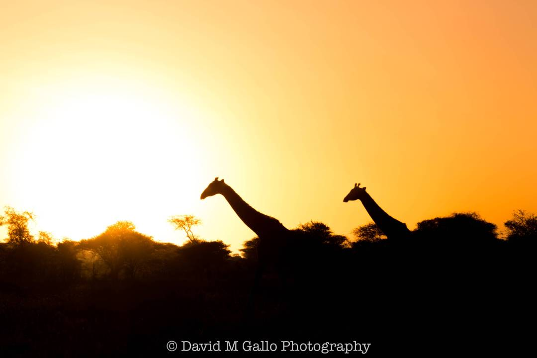"""Watching the sun creep up over the horizon in front of a silhouetted Acacia tree was yet another """"I can't believe I'm actually in Africa"""" moment. On our third day of exploring the Serengeti with Pristine Trails, we saw numerous lions, leopards, and herds of elephants! This is a national park NOT to be missed! Read more at www.thefivefoottraveler.com"""