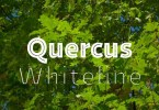 Quercus Whiteline Super Family[3 Fonts] | The Fonts Master