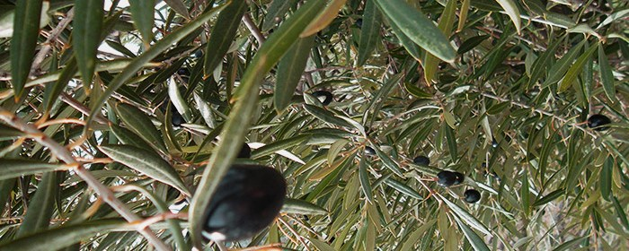 Olives grown in Jaén