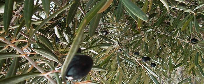 Olives grown in Jaén