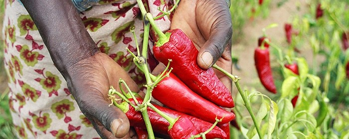 A farmer shows off her crop of paprika peppers in Mang'alali village, Iranga region. USAID helps farmers to improve their yields and get better prices for their crops in a number of African countries, including Tanzania and Zimbabwe.
