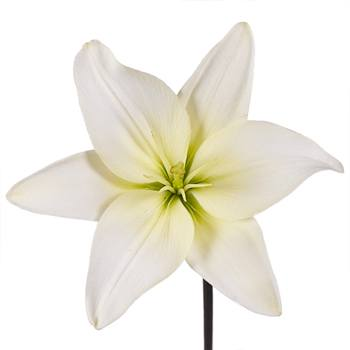Lily extract
