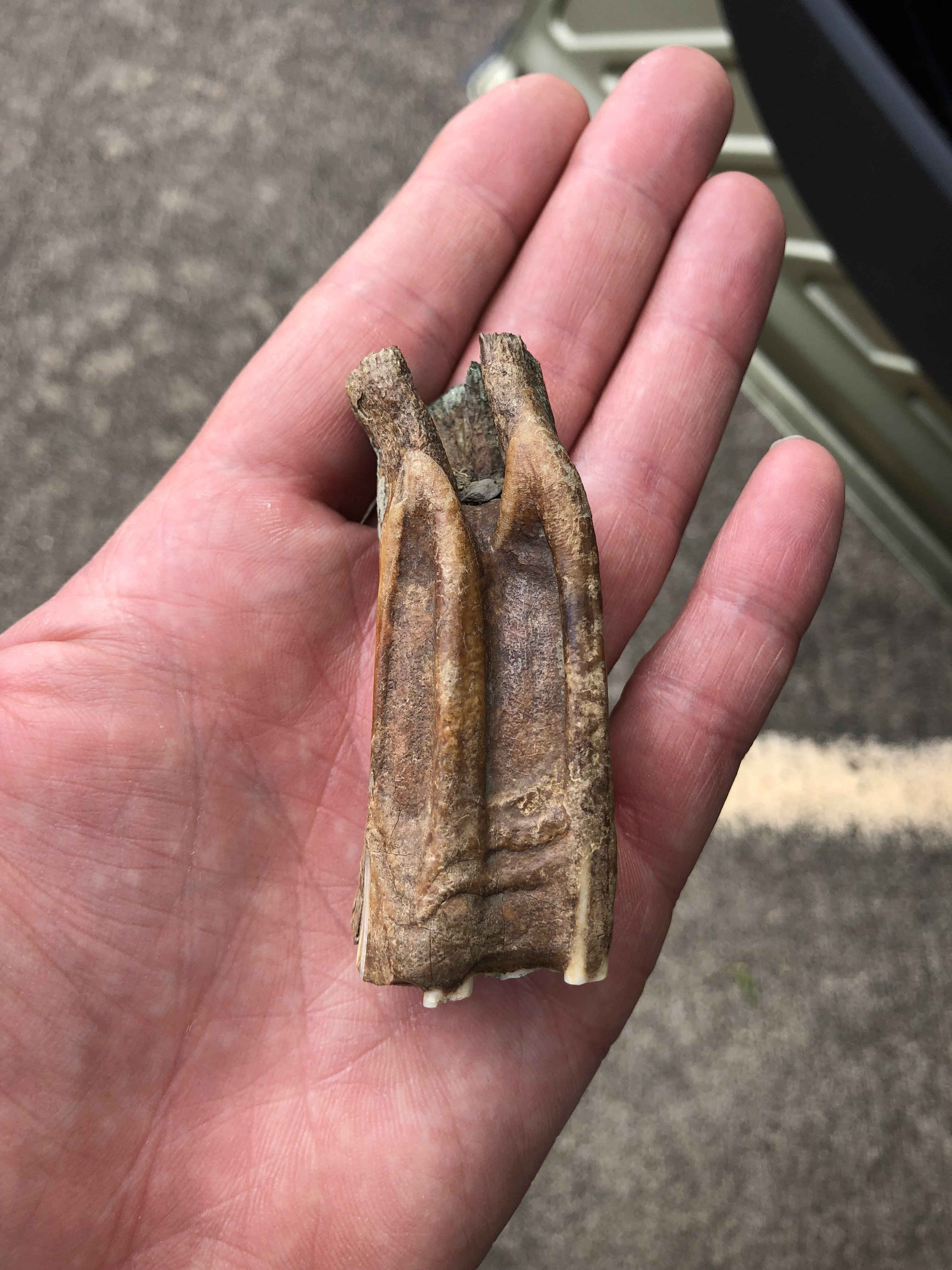 Prehistoric Horse Tooth Fossilized