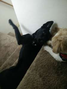 funny-dogs-playing