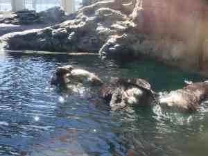 seattle sea otter cleaning butt