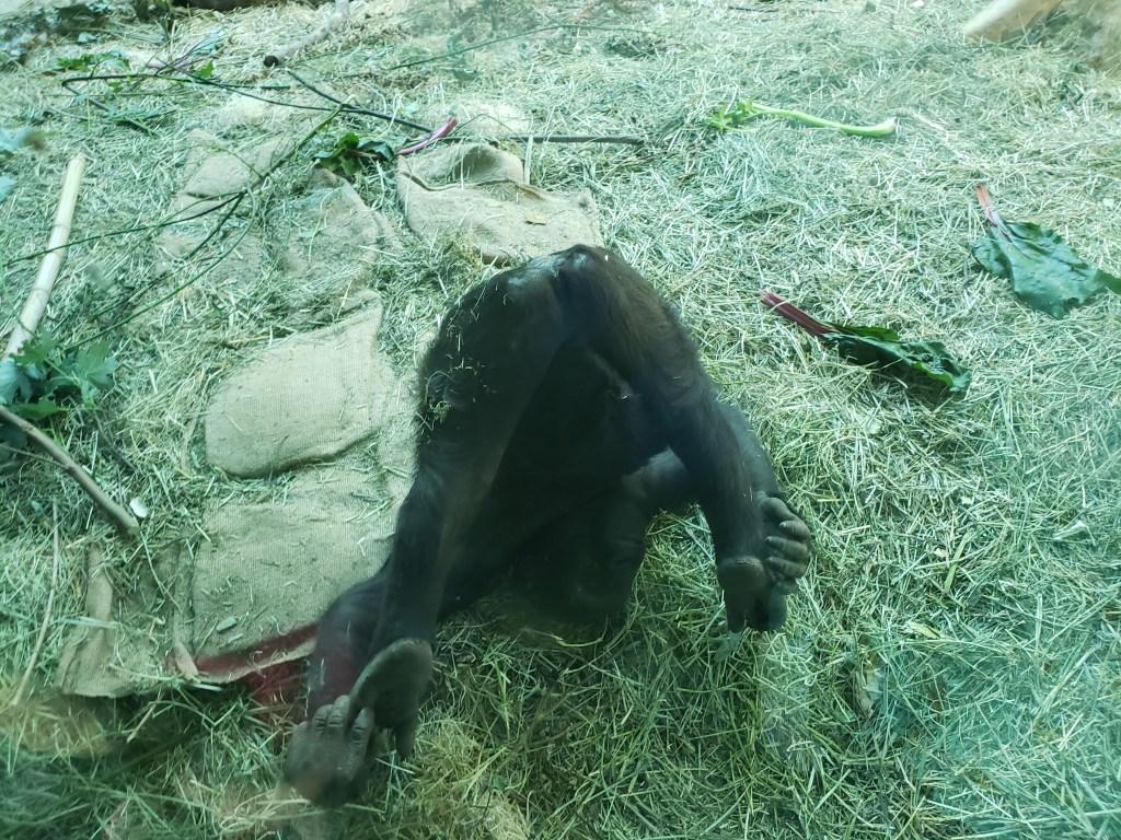 baby gorilla showing butt
