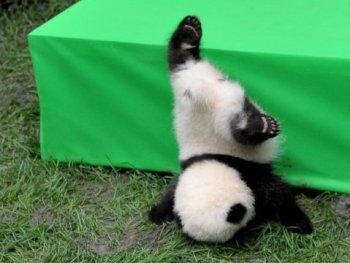 panda-falling