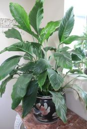 Peace Lily / White Flag Plant / Spathiphyllum