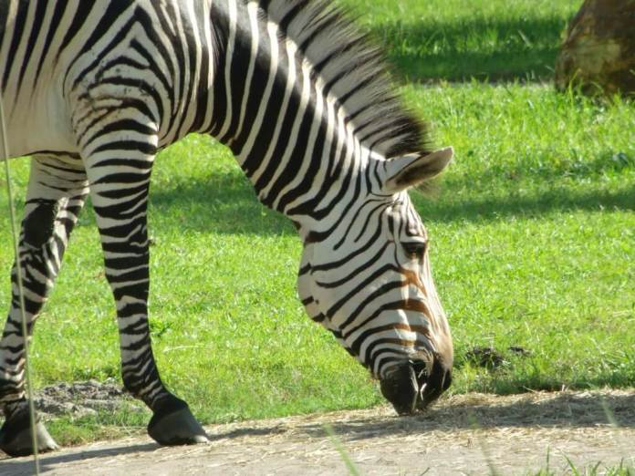 Zebra at Animal Kingdom Lodge