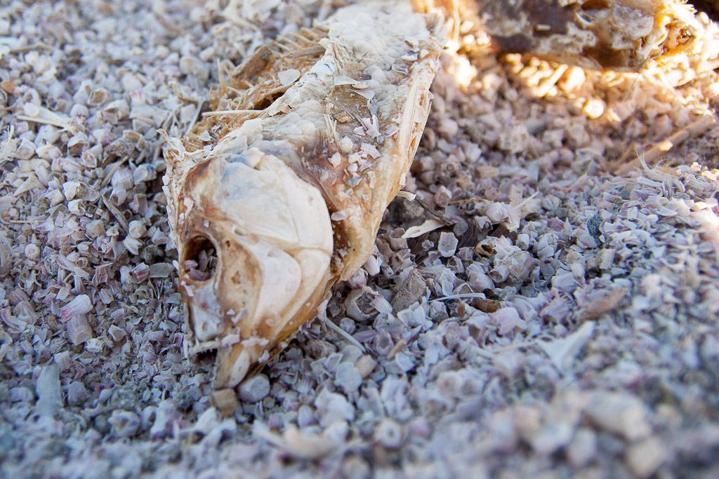 Dead Fish line the shores of the Salton Sea