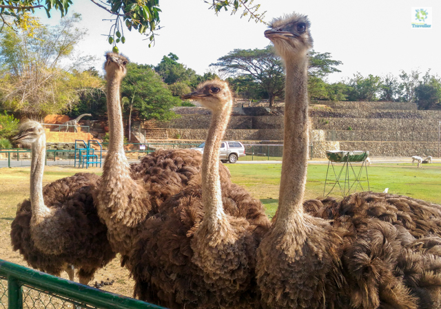 The ostrich of Baluarte Zoo