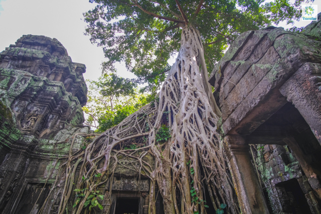 The huge fig tree that Ta Prohm is known for. Tourists line up to take turns in taking photo with this tree.