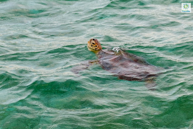 A sighting of sea turtle at the shallow waters of Onok Island.