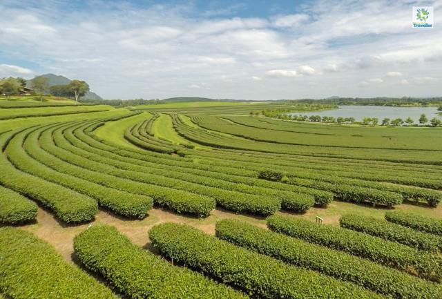 The vast tea plantation at Singha Park.