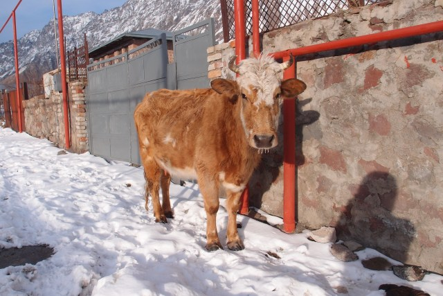 Cow and icicles