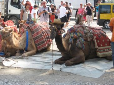 camel in turkey