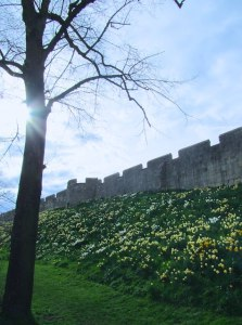 York city walls - March daffodils