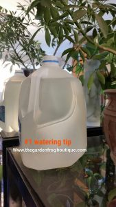 Gardening tip #1- watering your houseplants, water tip, houseplant watering tip, House plant water tip