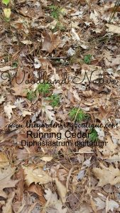 Diphasiastrum digitatum, Running Cedar- a Native with a Christmas Past