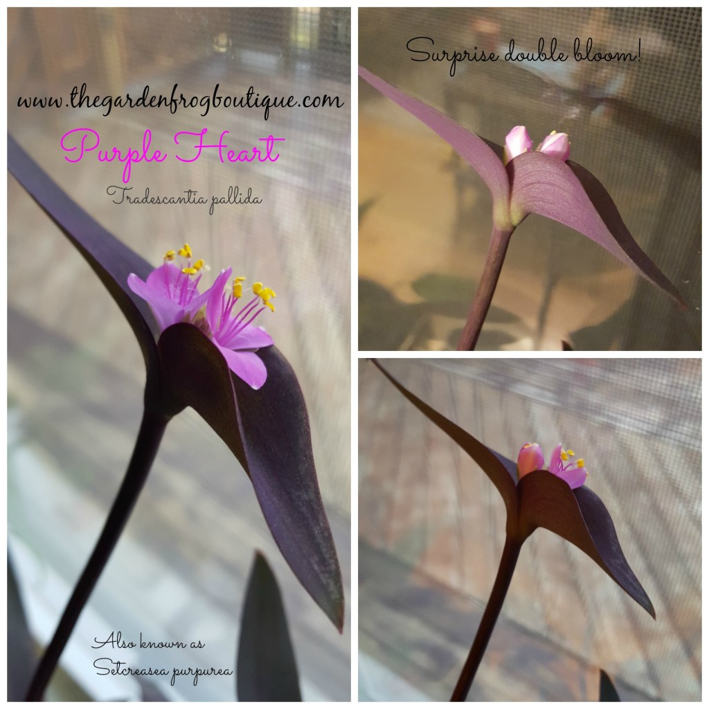 Purple Heart (Tradescantia pallida) Plant, Purple Queen, Purple Spiderwort, Setcreasea pallida, Setcreasea purpurea