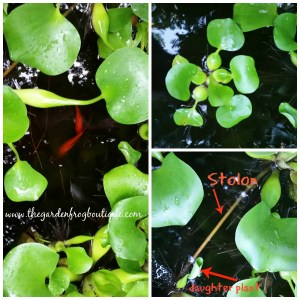 Water Hyacinth in My Backyard Pond