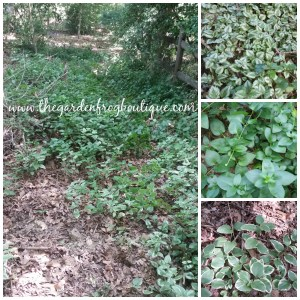 Can you control a groundcover?, invasive plants to avoid, groundcovers