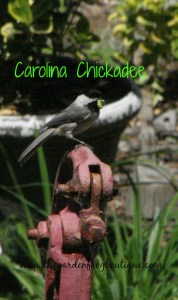 How to build an antique hand pump fountain pond in the garden, Carolina Chickadee