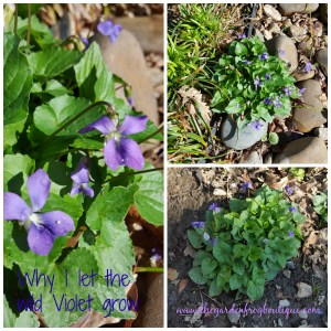 Why I let the wild violet grow in my garden