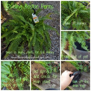 Gardening tip: Dividing Boston Ferns, (Nephrolepis exaltata)