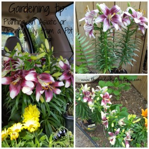 Gardening tip Planting an Asiatic or Oriental Lily from a Pot in the garden