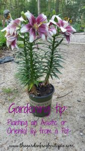 Gardening tip Planting an Asiatic or Oriental Lily from a Pot