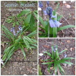 Spanish Bluebells (Hyacinthoides hispanica) in my garden, spring naturalizing flower, wood hyacinth,