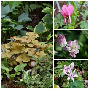 3 additions to the shade garden, Aquilegia, Toad Lily, Bleeding Heart