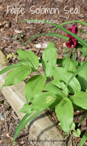 False Solomon Seal, native woodland spring bloomer, Maianthemum racemosum, Smilacina racemosa, Vagnera racemosa