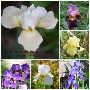 Just a few Iris in my garden