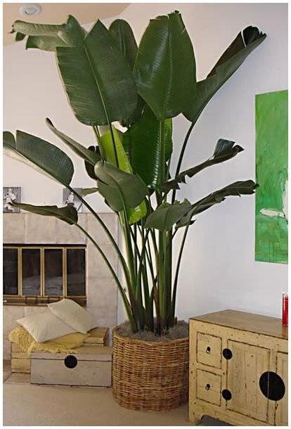 Tall Tropical House Plants