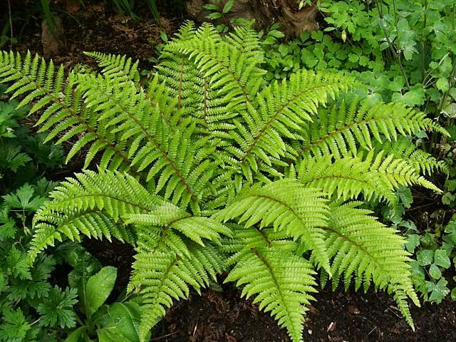 Falguera de jardí (Font: www.thegardenhelper.co