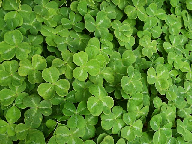 https://i2.wp.com/www.thegardenhelper.com/pixpg/graphics/shamrock.JPG