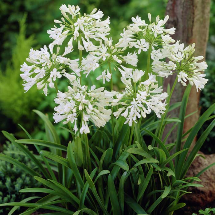 Buy Agapanthus Roots Online In Ireland At Best Prices