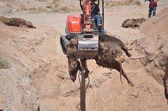 https://i2.wp.com/www.thegatewaypundit.com/wp-content/uploads/2014/04/bundy-ranch-cattle.jpg