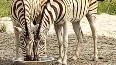 Photo of Omu Resort Takes Delivery Of First Zebra In Lagos