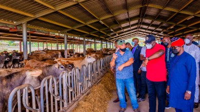 Photo of Ikun Dairy Farm'll Serve As Model For National Livestock Transformation Plan – Fayemi; Ekiti Inches Close To Large Scale Milk Production