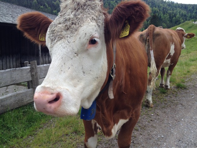 Germany cow