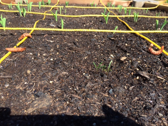 Corn and dill sprouting