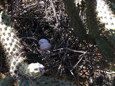 dove nest in cholla