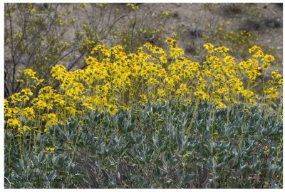 Borrego Springs, California – Wildflowers