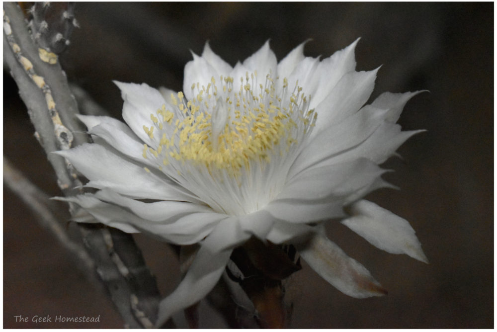 Read more about the article Night-blooming Cereus: 2021 Bloom Night #1